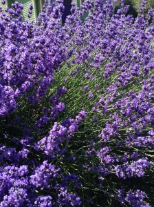 Lavender in downtown Moscow, Idaho, July 2014