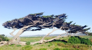 Windbent Cypress: Monterey, California; February 1, 2015