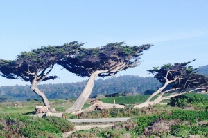 Windbent Cypress: Monterey, California; February 1, 2015