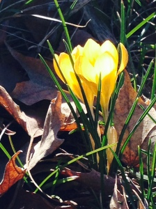 A hint of what is coming our way: Frontyard Crocus taken on recent trip to Moscow, Idaho, March 2015