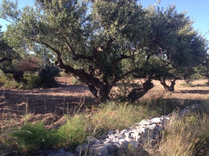 Olive Grove: Kyhera, Greece, May 2015